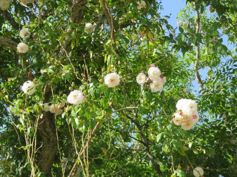 This rock rose vine has climbed into a jacaranda tree and both are now swelling with blooms.