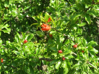 Just look at the pomegranate flowers .