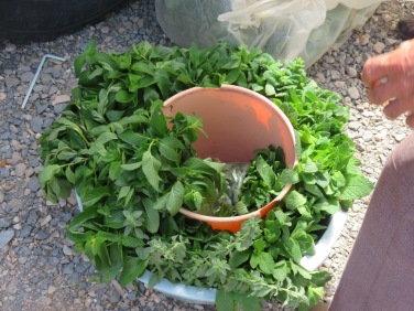 Lovely scented fresh mint in abundance.