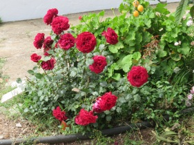These roses are about 8 - 10 inches in diameter!!