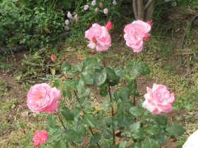 Roses are in abundance everywhere and out property is no exception