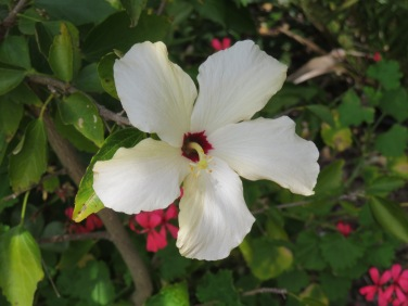A lovely white hibiscus has opened in our driveway. Didn't even know it was there.