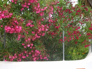 A tall hedge of lovely oleander.