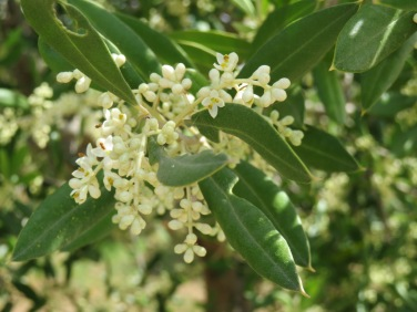 Olives will be in abundance this year as all the trees are covered in flowers.
