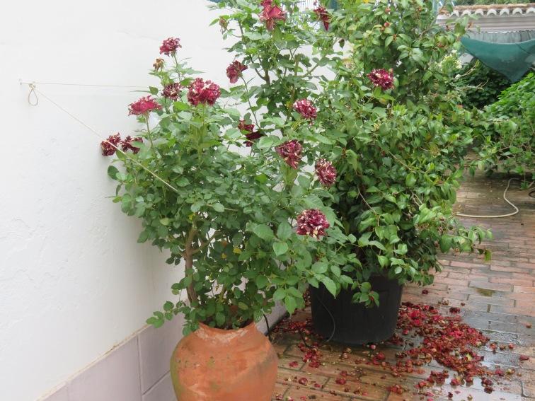 The full rose bush.