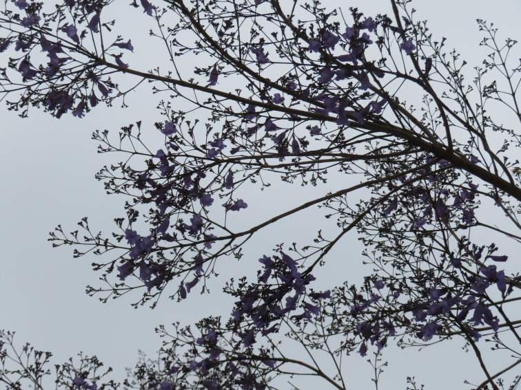 Look closely..the jacaranda is exploding.