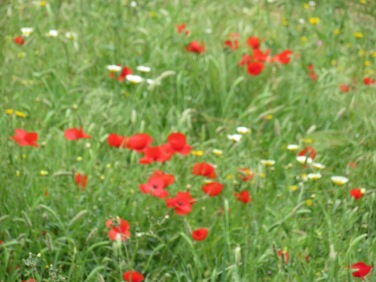 Not as many poppies this year as in others but still there are fields of it to be found and they are always beautiful.