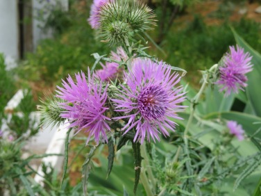 Thistle flowers.