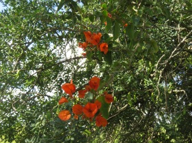 My favourite colour of bougainvillea. It too is climbing up into a carob tree.