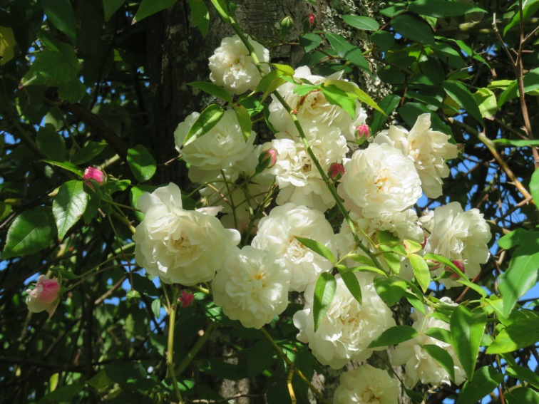 Gorgeous clusters of rock roses continue to bloom daily, hanging in abundance from a jacaranda tree!