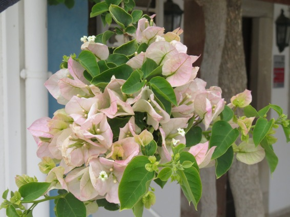 Pinkish white bougainvillea....