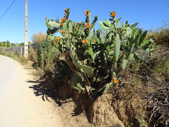 Gorgeous blooming cactus near home. The orange is rich and vibrant and the flowers,although looking delicate, are quite hearty.