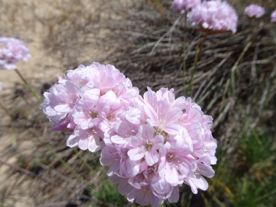 This flower was growing in abundance all along the dunes.........miles of it.