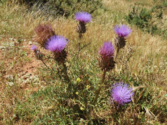 Fields and fields of lovely blooming thistles.