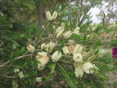 We came across a white bottle brush plant, or as I referred to it, albino!!!