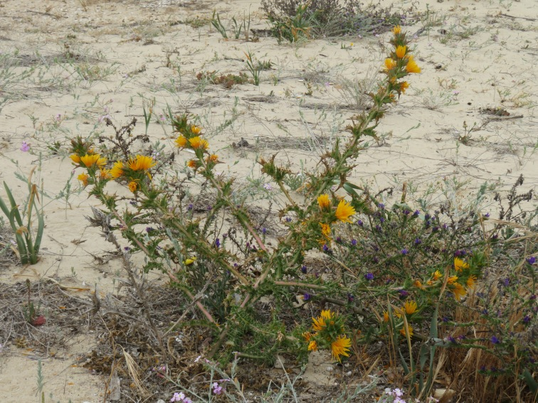 More beach flowers surviving and thriving in the sand!