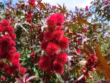 The Castor Oil or Castorbean Plant