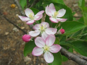 I think these are apple flowers.