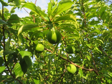 These are plums.....right beside our kitchen door...growing on a tangerine tree as Henrique grafted a few branches!!