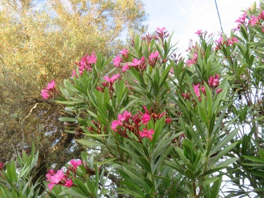 Oleander is popping up everywhere. The autoroutes are lined with it in various colours.....this is by our bathroom window
