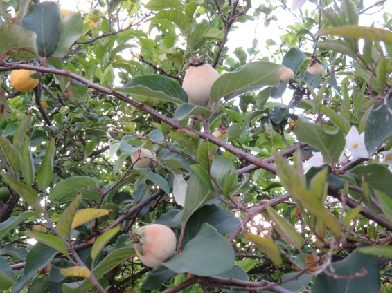 The quince is growing and the tree will yield a hearty crop.