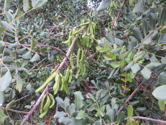 The carob trees are bending with fruit this year.....it's going to be a bumper crop for certain.