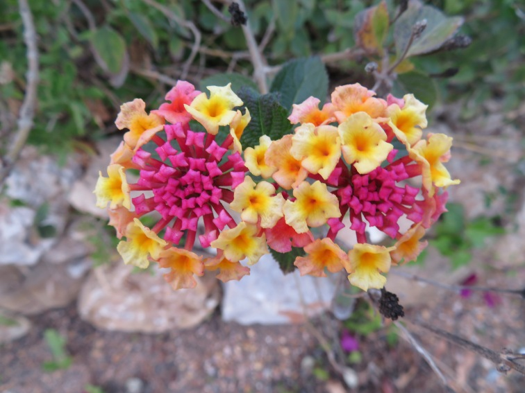 A lantana plant is starting to flower yet again.....they seem to continually bloom.