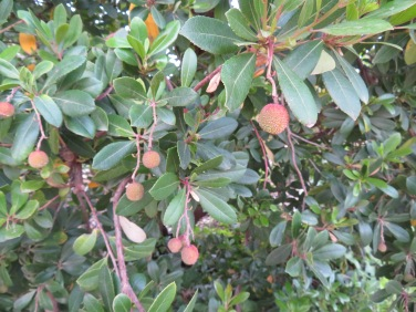 A medronho tree is starting to burst with fruit.