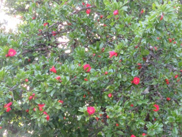 And just look at the pomegranate tree, and this is only a portion of it. How I would love to be here when they are ready to be picked.