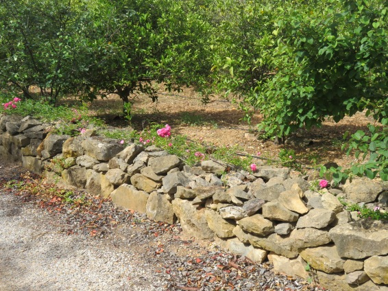 This is the stone wall coming up our drive. The roses are bursting into colour and in another day or so it will all look pink!
