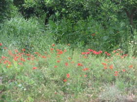 Saw loads of poppies today and thought of Pat Matthews. For some reason in the Estoi area, every field seems to be brimming with them.