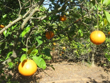 These are last years oranges, still hanging in there. We pick and eat them pretty well every other day. Always throw a couple in the bag when we head out for a hike or take the train.