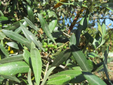 The tiny olives have formed and there will be a formidable harvest in the fall.