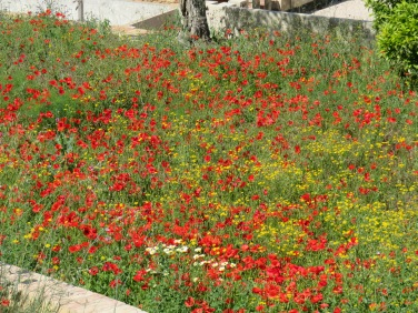 The poppies have suddenly appeared everywhere. Last year they showed up in April and we had been expecting them then. Quite a surprise.