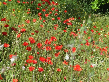 I think I mentioned the other day, the poppies are a bit late this year and are now showing up in all the fields and along the roadside. Such lovely shades of orange and red flouncing in the wind.