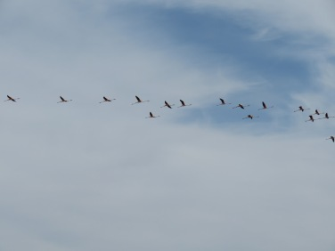 This is a tiny segment of a large flock of flamingos that flew noisily overhead. A streak of red and pink.