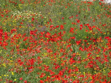 Yet another field of poppies.